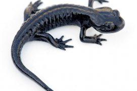 Salamandre de Lanza / © Matthieu Berroneau