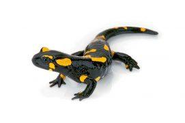 Salamandre tachetée / © Maximilian Weinzierl / Alamy