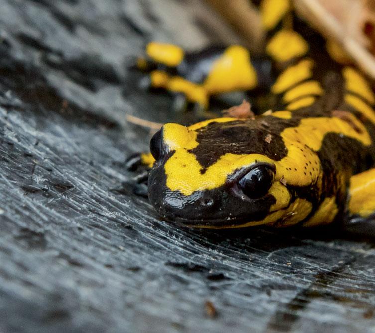Les différentes causes de la disparition de la salamandre tachetée