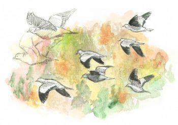 dessin-#69-pigeon-salam