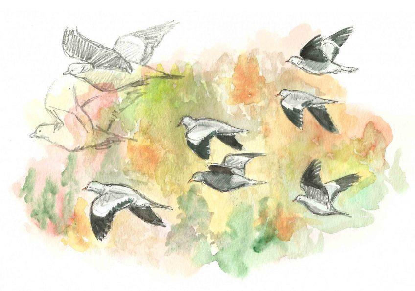 Des pigeons par milliers - La Salamandre