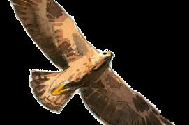 Aigle royal  Envergure: 188-227 cm Montagnes (F et CH)  / © Jose Antonio Sencianes Ortega