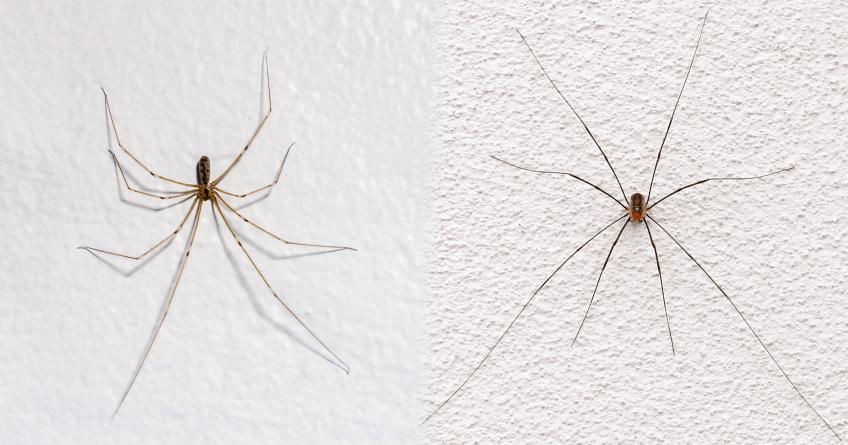 Araignée face au faucheux