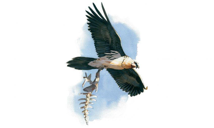 Le gypaète barbu, un oiseau casseur d'os qui prend des bains de rouille