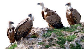 Des vautours sous son aile - #1