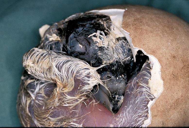 œuf de gypaète barbu