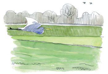 La grande aigrette, l'oiseau qui a faillir disparaître, le récit de son retour en force