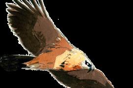 Gypaète barbu adulte Envergure: 250-280 cm Montagnes (F et CH) / © Jose Antonio Sencianes Ortega