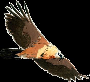 L'anatomie du gypaète barbu, un vautour géant mangeur d'os