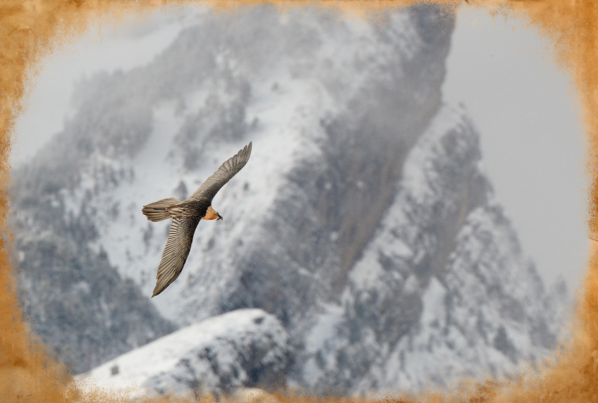Gypaète, la légende du rapace barbu