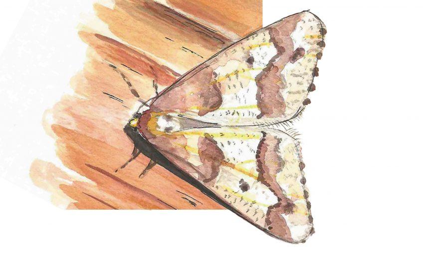 L'hibernie défeuillante, un papillon bien nommé qui vole en hiver