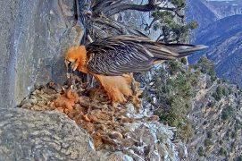 Jeune âgé de 2 semaines / © PACT-andorra et Gouvernement d'Andorra (webcam)