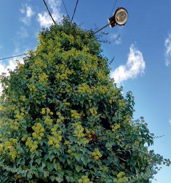 Laissez le lierre grimpez à vos murs pour en faire profiter la nature.
