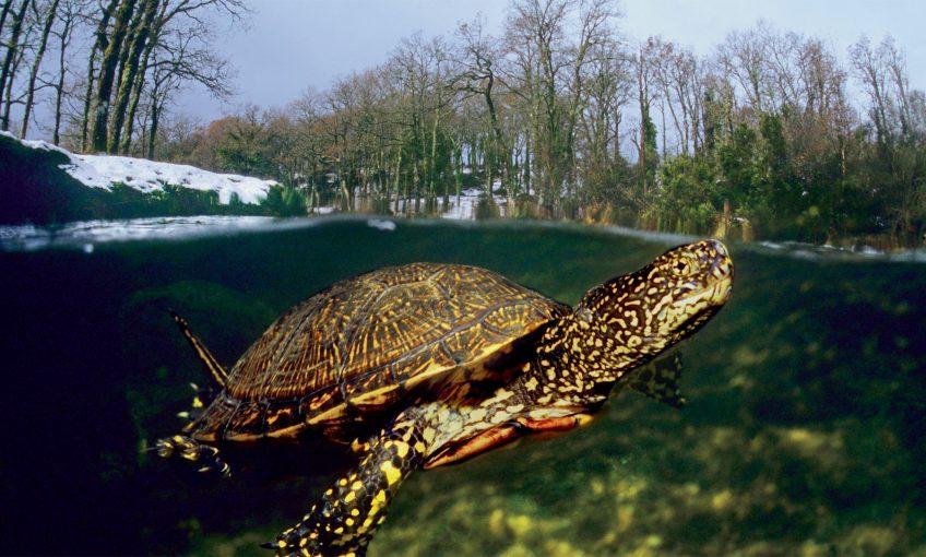 Comment la tortue cistude fait-elle pour passer l'hiver même quand l'eau gèle?