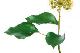 Dès octobre, ses fleurs qui ne paient pas de mine, sont les dernières « buvettes » ouvertes avant l'hiver. Minuscules, mais très nombreuses, elles offrent aux insectes butineurs leur abondant nectar. Papillons, abeilles, syrphes… Nombreux sont les visiteurs qui profitent du lierre pour faire un ultime plein d'énergie. / © Richard Griffin / Alamy