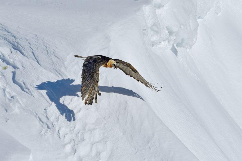 Le gypaète a un photographe engagé pour lui dans les montagnes suisses