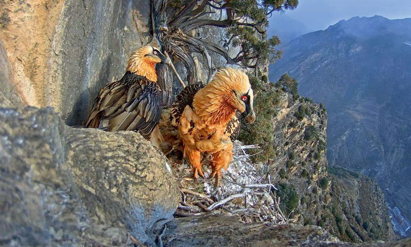 La nidification du gypaète barbu