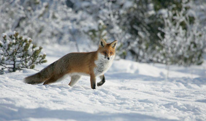 Un collectif pour enlever le renard de la liste des nuisibles