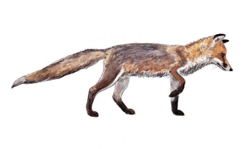 Ecoutez les jappements d'amour du renard roux en hiver