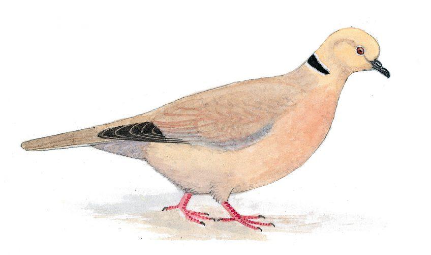 La tourterelle turque, le premier oiseau que vous verrez de l'année ?