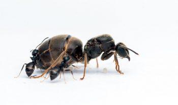 Chez la fourmi noire des jardins, la reine peut mesurer jusqu'à 11 mm, contre 3 à 5 mm pour les ouvrières.