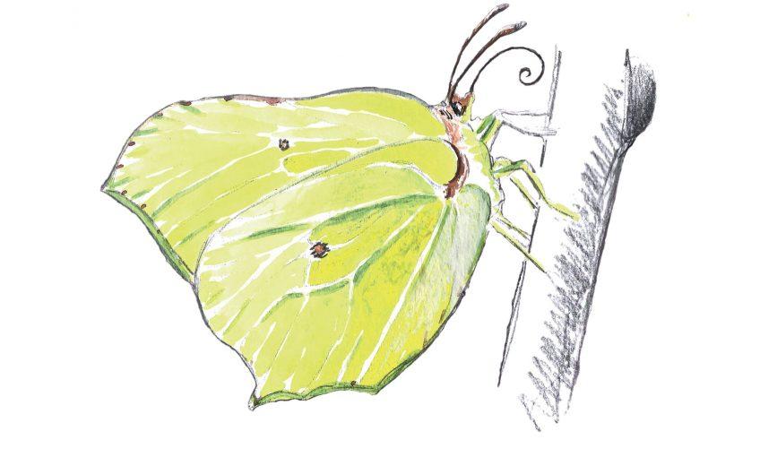 Le citron, un papillon pressé