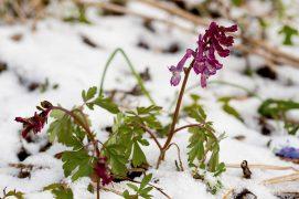 Dernière neige sur les corydales à tubercule creux / © Benoît Renevey