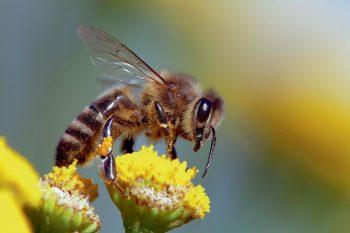 l'abeille domestique peut faire rajeunir son cerveau en cas de besoin de la ruche