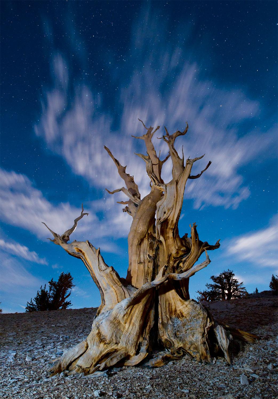 Le mélèze, un des arbres qui vit le plus longtemps
