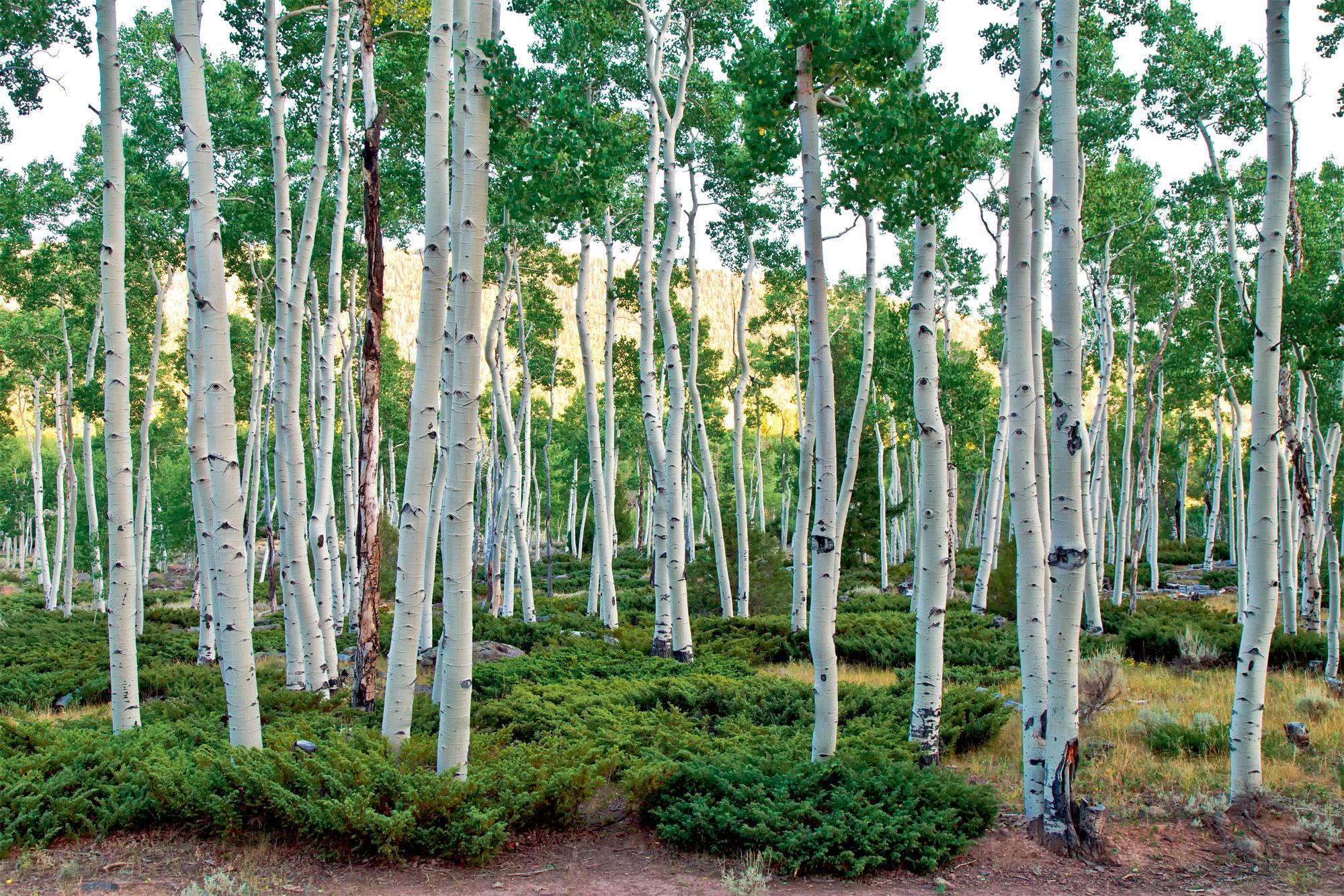 forêt clonale de peuplier