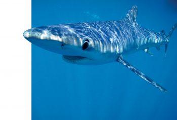 le requin peau bleue est le…