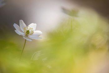 Les photos macro de perce-neige et d'autres fleurs de Carole Reboul