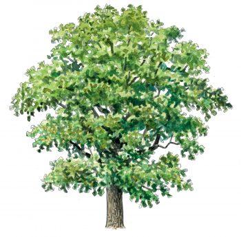 Le top 10 des arbres à planter dans son jardin