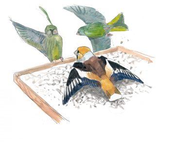 Voilà les grosbecs, des oiseaux aux maxi pifs et gros bidons à la mangeoire