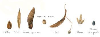 Que mange le grobec casse noyaux ?