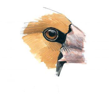 Voilà les grosbecs, des oiseaux aux maxi pifs et gros bidons.