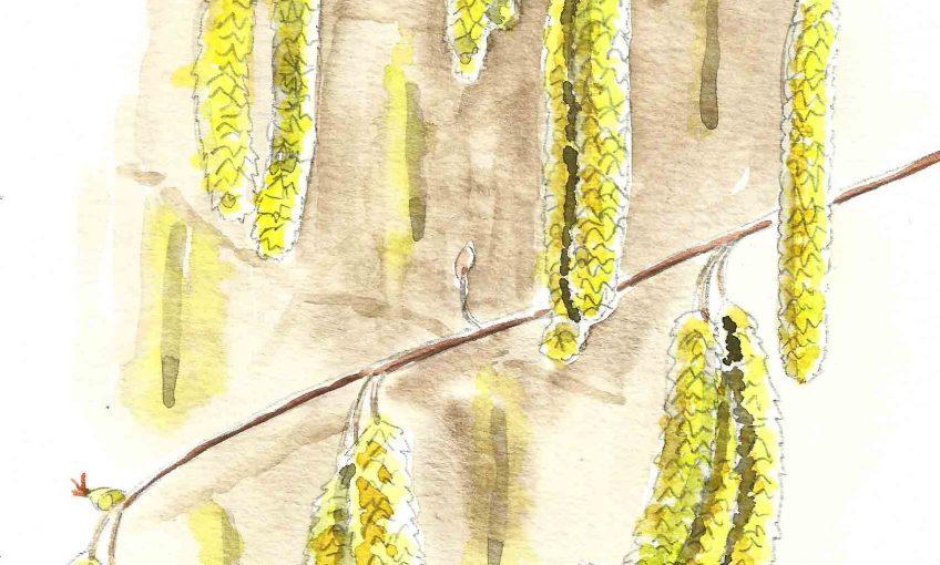 Février et l'arbre de la lumière le noisetier - La Salamandre