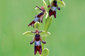 Ophrys mouche / © David Kjaer /Naturepl.fr