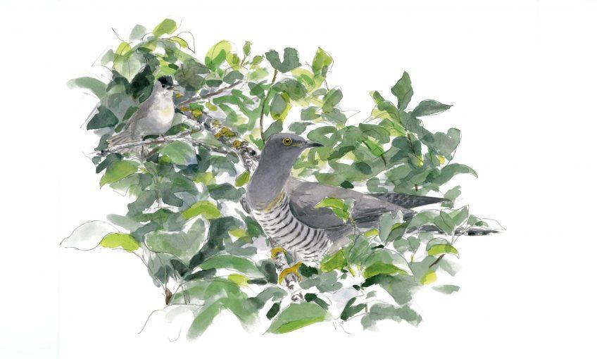 Les dessins de coucou gris du peintre naturaliste Jean Chevallier