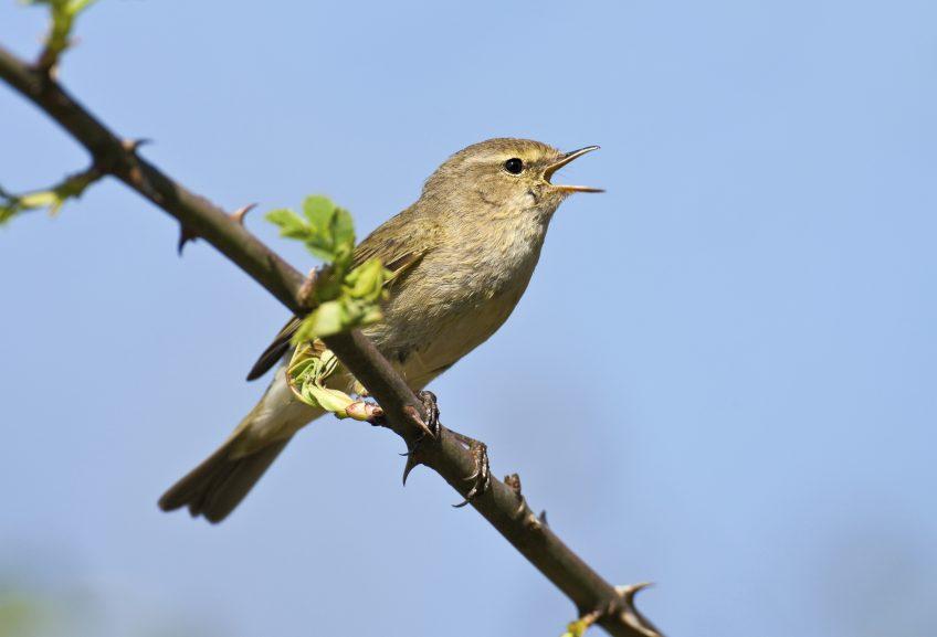 reconnaître le chant des oiseaux