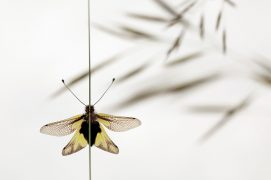 Ascalaphe soufré / © Simon Bugnon