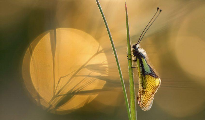L'ascalaphe, la magicienne et le diablotin, des insectes de la garrigue