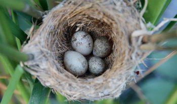 Ce nid de rousserolle effarvatte contient deux œufs de deux coucous différents. Contrairement à certains de ses cousins exotiques, cet oiseau n'enlève pas un autre œuf parasite déposé avant son passage, sans doute parce que c'est une situation rare. Le poussin le plus rapidement éclos expulsera simplement les autres, y compris son concurrent de la même espèce.