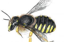 Les espèces caulicoles, comme l'anthidie à manique, aménagent leurs chambres larvaires dans les tiges creuses des plantes. Cette abeille cotonnière récolte des poils végétaux pour garnir son nid sur les plantes duveteuses, comme les immortelles ou les oreilles d'ours (stachys). / © Sophie Giriens