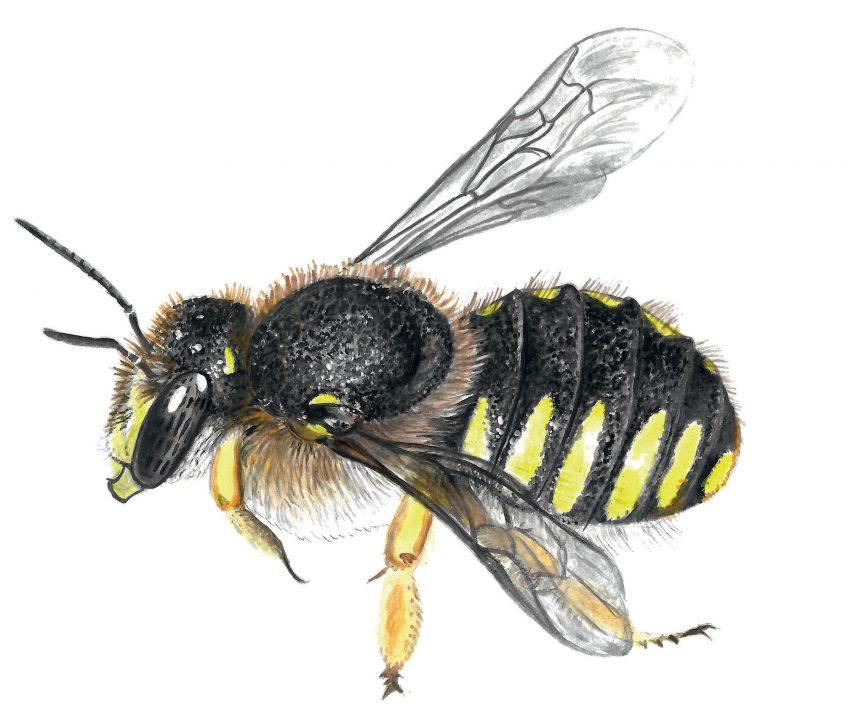 Construisez un nichoir pour les abeilles sauvages pour attirer l'anthidie à manique