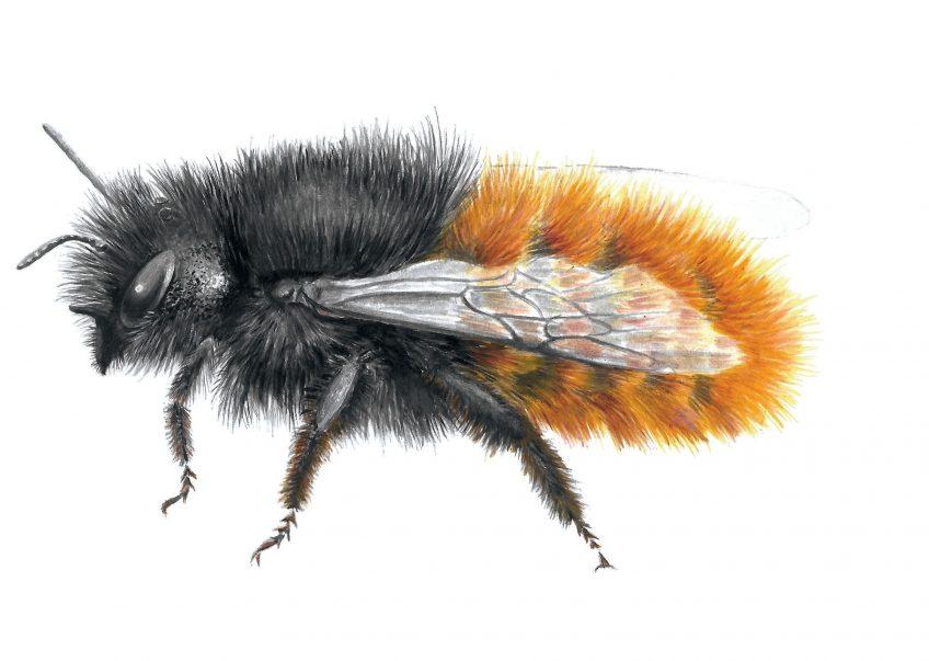 Construisez un nichoir pour les abeilles sauvages pour attirer l'osmie rousse