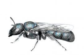Les rubicoles préfèrent creuser leur loge dans une moelle tendre comme les tiges de sureau. La cératine bleutée, une petite abeille élancée aux reflets métalliques, choisit même d'y passer l'hiver. Il faut dire que son petit nid douillet est moelleux et plutôt bien isolé. / © Sophie Giriens