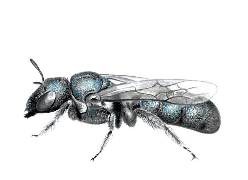 Construisez un nichoir pour les abeilles sauvages pour attirer la cératine bleutée