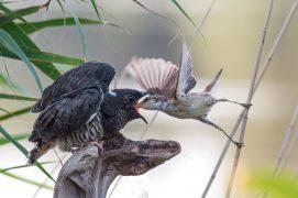Dans les marais : la rousserolle effarvatte  / © OldŘich Mikulica