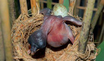 Des heures, voire des jours, d'efforts sont nécessaires au jeune coucou pour vider le nid de tous ses concurrents. Aurait-il été plus simple que sa mère s'en charge? Si elle avait éliminé tous les autres œufs, sans doute la couveuse aurait-elle abandonné le nid.
